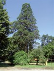 GIANT REDWOOD, SLATINA